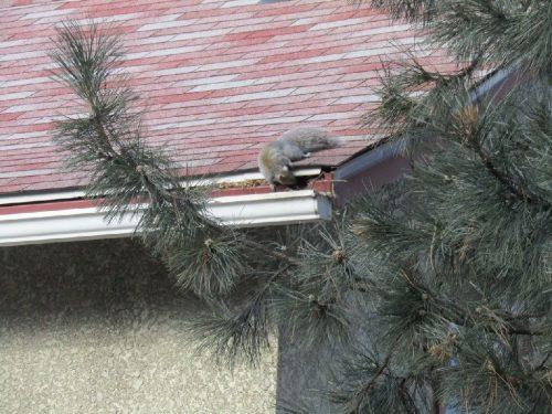 Squirrel entering fascia