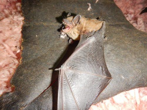 Bats bite