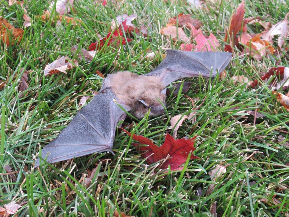 Bat on the ground.jpg